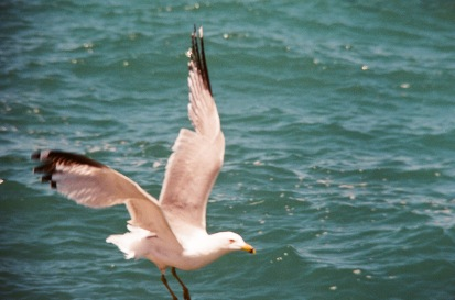 seagull_sharpedit 2
